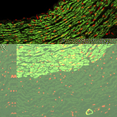Immunofluorescence Staining